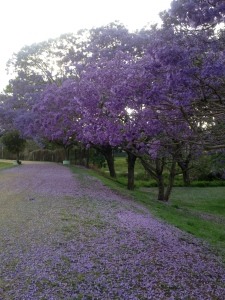 Jacarandas early morning