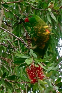 Adult Scaly-breasted Lorikeet
